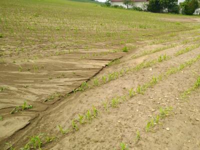 Die Sedimentation aus dem Maisfeld selbst wurde durch die Abflussspitze aus dem Einzugsgebiet unterschnitten.