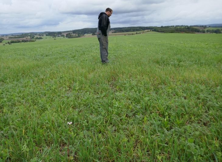 Erste Versuche - Untersaaten im Mais. Hier noch keine hohe Biomasse, aber erfolgreich etabliert.