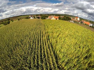Mais und Wildpflanzen im Vergleich