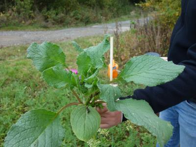 Boretsch, Bestandteil der Zwischenfrucht mit guten Bodendeckungseigenschaften