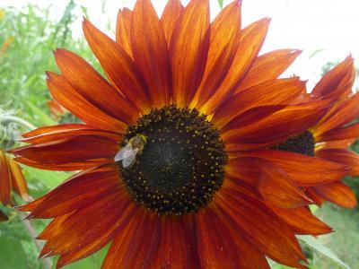 Biogas-Hanf-Mischung - Wildpflanzenmischungen für Bienen & Biogas