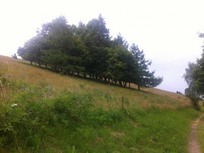 Eine Baumgruppe auf einer steilen Bergweide. Sie sind im unteren Bereich bodenparallel abgeweidet vom Rind und so ein prägendes Landschaftselement.