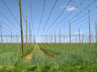 Erst der Blick in Bearbeitungsrichtung lässt die Hopfenpflanzen deutlich sichtbar werden, Aufnahme 12. Mai 2020