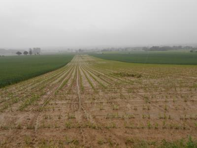 Erosion im Maisfeld